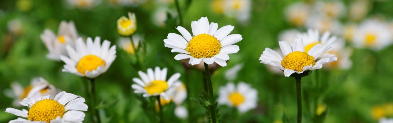 Mộ hoa cúc dại - Ito Sachio