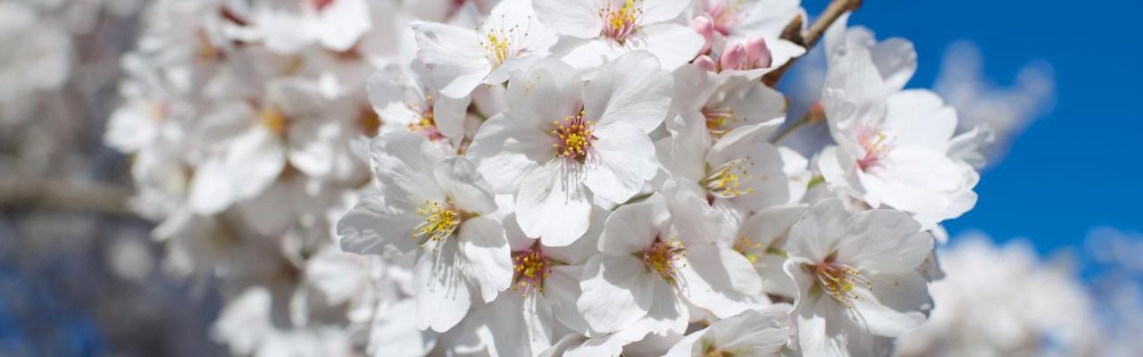 Nhật Bản 24 mùa hoa (phần đầu)