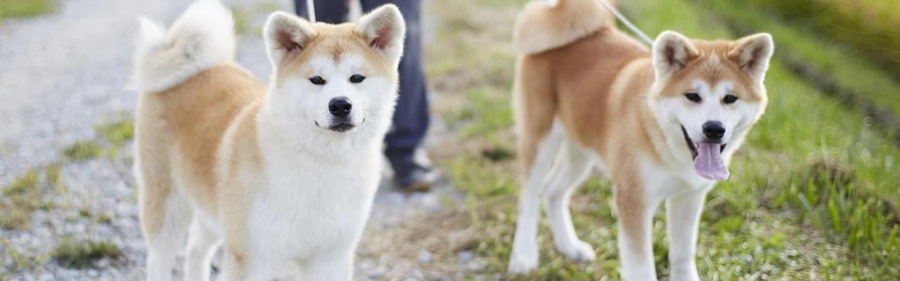 """7 giống chó đẹp – ngầu được xem là """"Quốc cẩu"""" của Nhật Bản"""