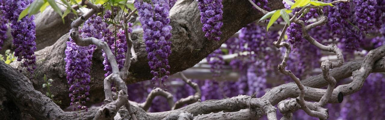 Tháng Năm ngắm hoa tử đằng ở công viên Ashikaga