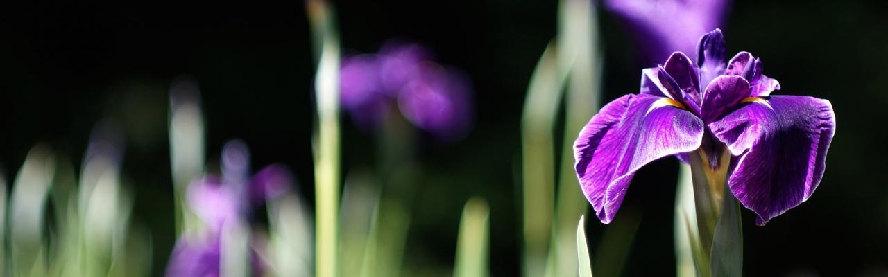 Diên vỹ - loài hoa của tinh thần thượng võ