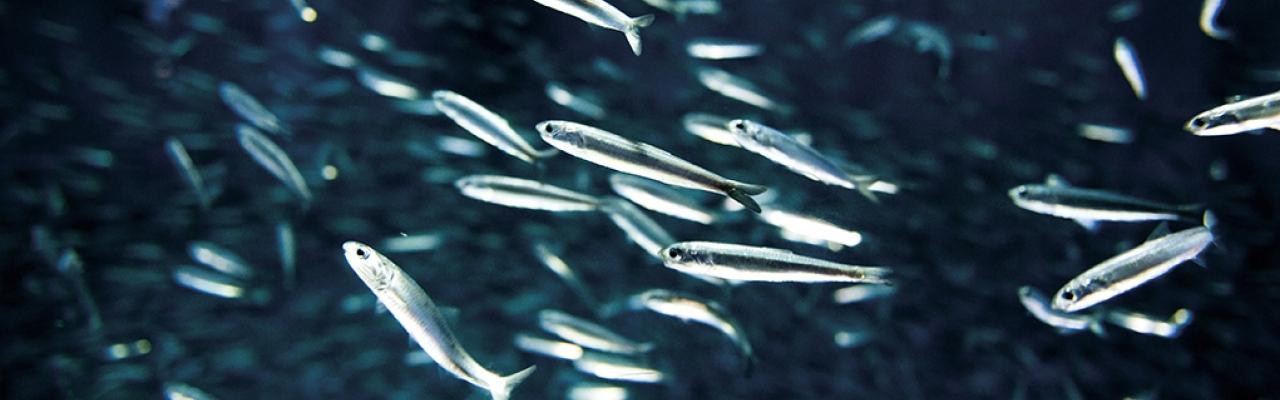 Ưu điểm của Collagen chiết xuất từ cá