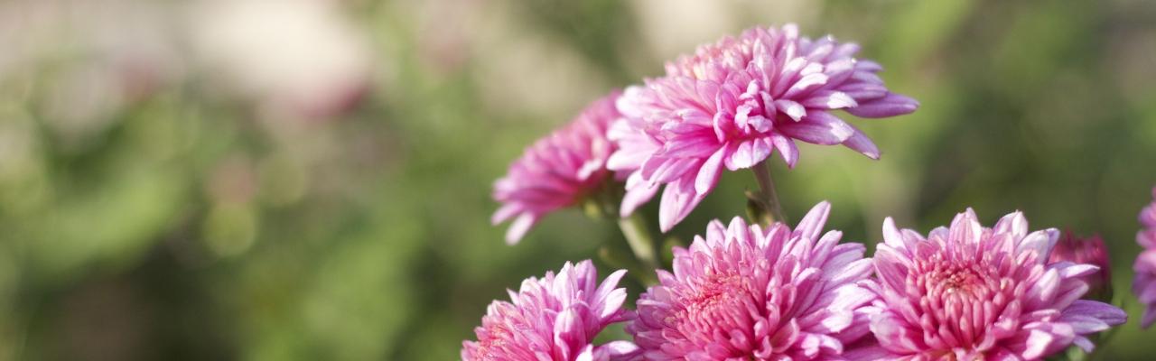 Ẩm thực hoa cúc – Hương vị tinh tế của mùa thu Nhật Bản