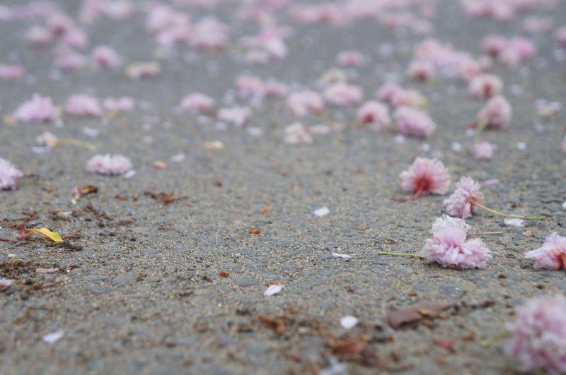 hoa anh đào nở rồi tàn rụng