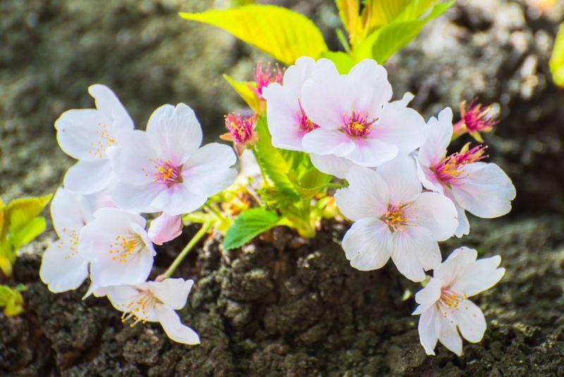 một chùm hoa anh đào