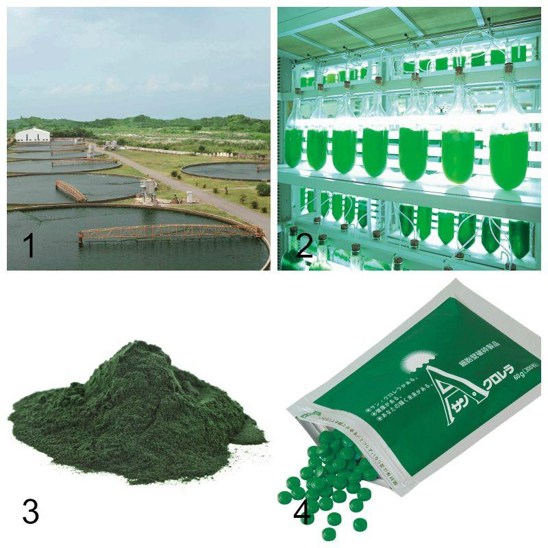 quy trình sản xuất chlorella