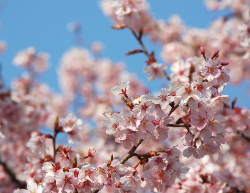 Ohkan zakura