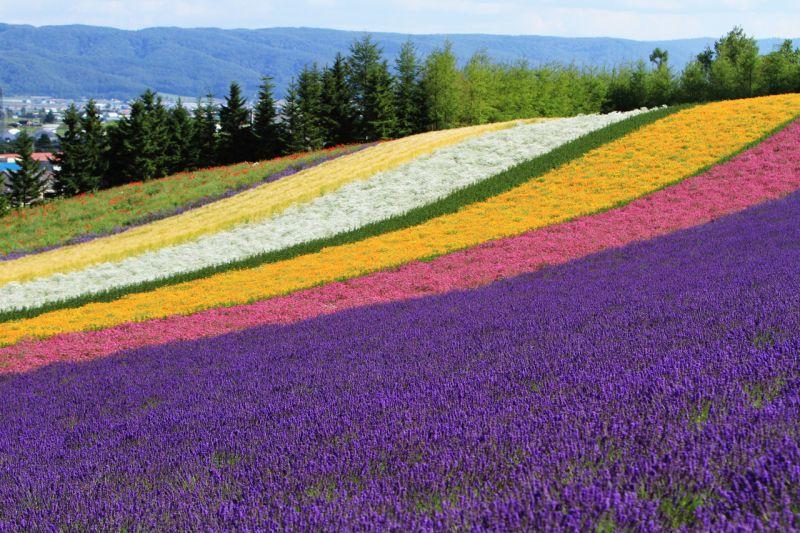 Farm Tomitaの彩りの畑