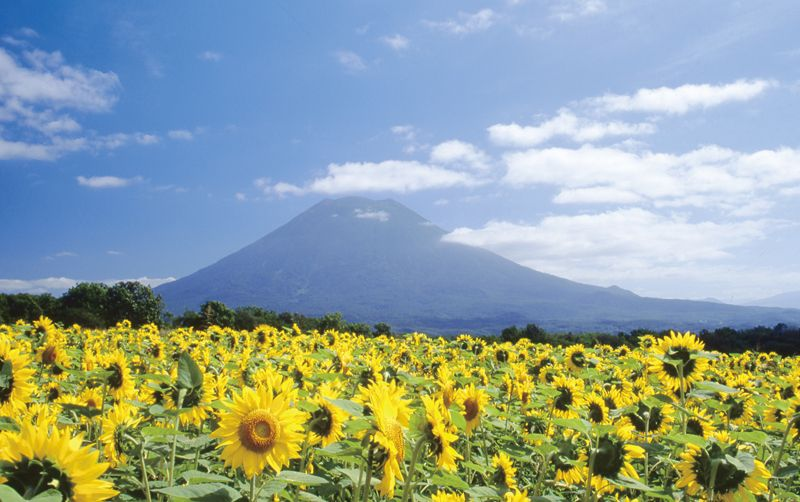東山花の丘のひまわり畑