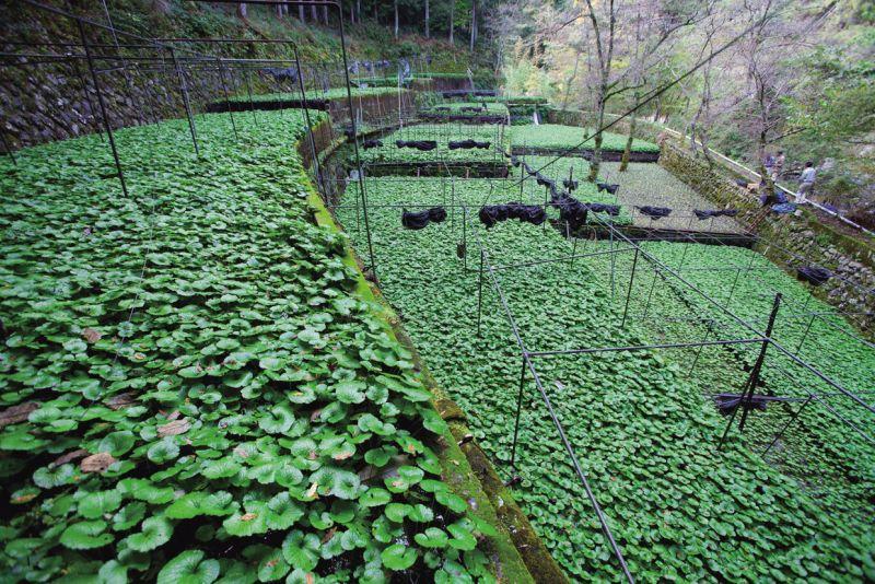 vườn wasabi
