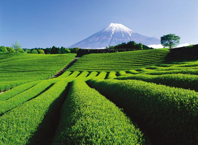 cánh đồng trà Shizuoka