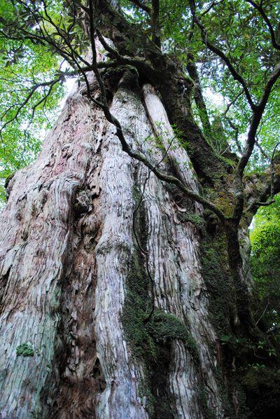 屋久島で樹齢1、2位を争う紀元杉