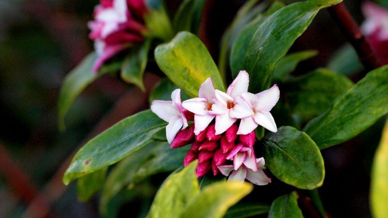 Hoa thụy hương