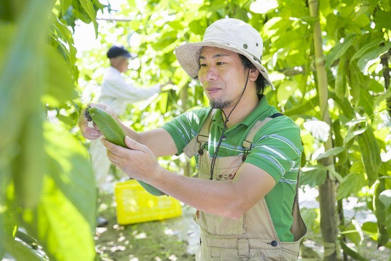 なた豆を収穫する