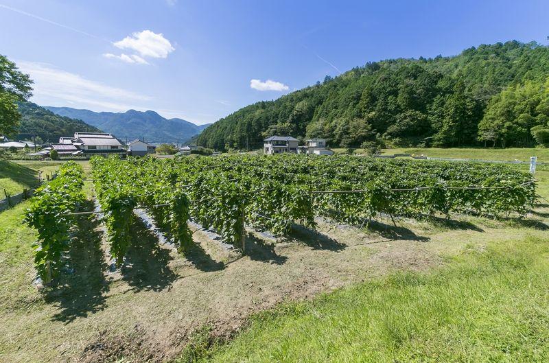 丹波なた豆茶を育てている農園