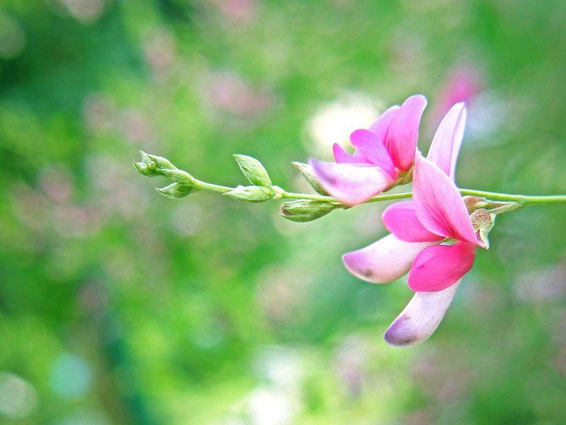 Hoa hồ chi
