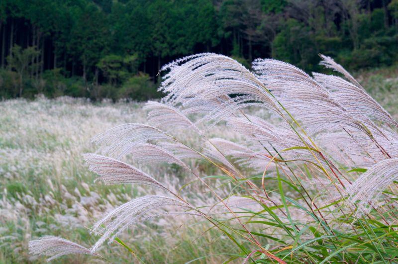 cỏ lô
