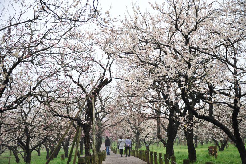 vườn mơ Kairakuen