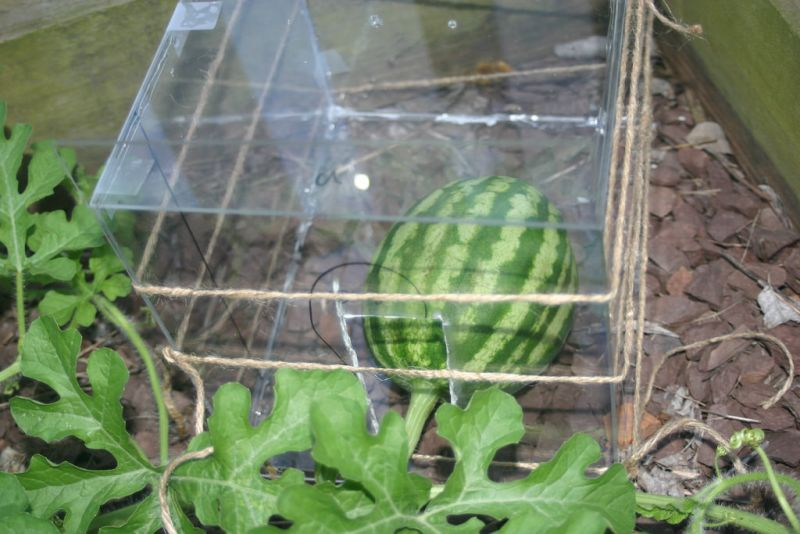 Kỹ thuật trồng dưa hấu vuông