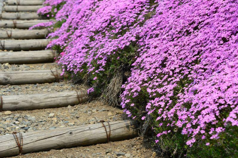 hoa chi anh ở Takinoue