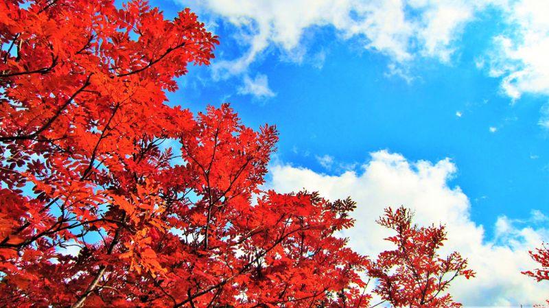 những chiếc lá màu đỏ như được dán lên nền trời