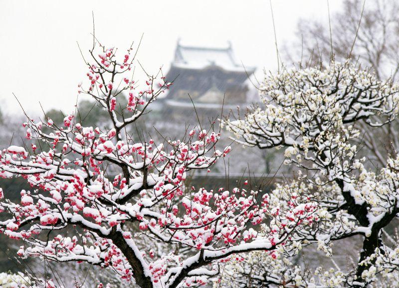 hoa Ume trong tuyết trắng