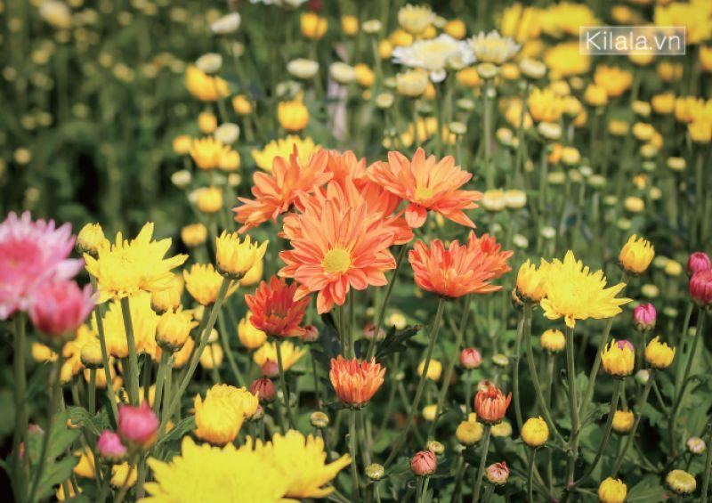 ngâm bồn kiểu Nhật hoa cúc