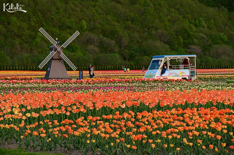 hoa tulip ở Kamiyubetsu