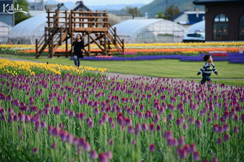 đồng hoa Tulip ở Kamiyubetsu