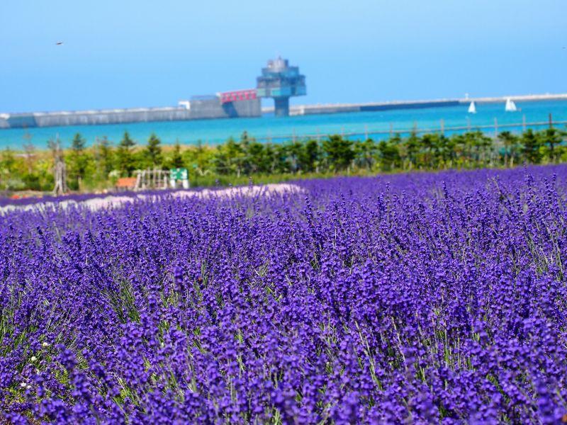 Hoa Lavender, Mombetsu
