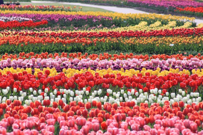 Hoa Tulip, Mombetsu