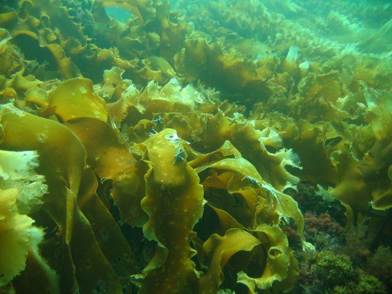 Tảo nâu Nhật Bản