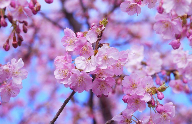 lịch ngắm hoa anh đào tại Nhật