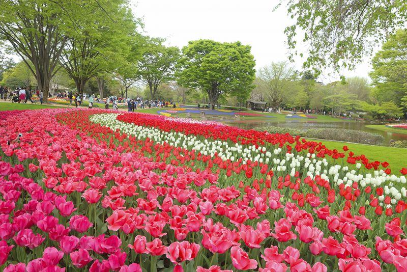 Ngắm hoa Tulip