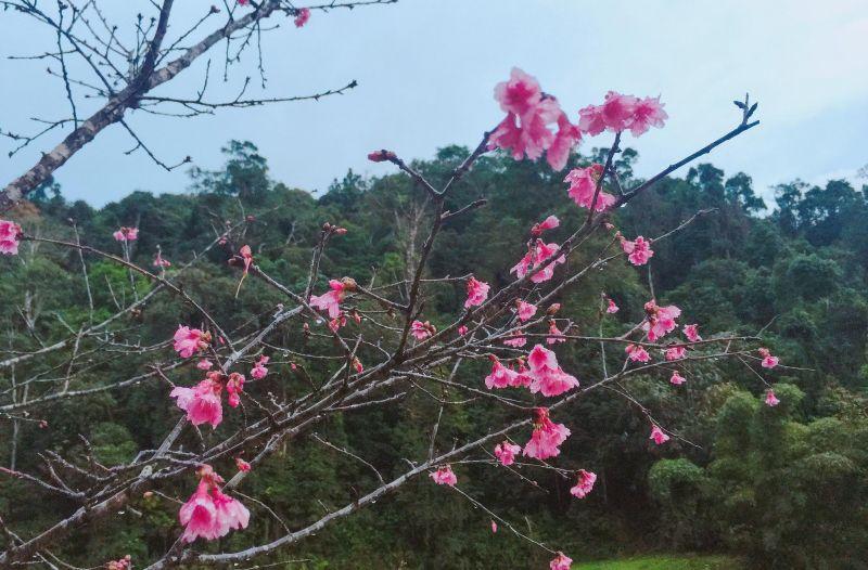 Hoa anh đào tại Đà Lạt
