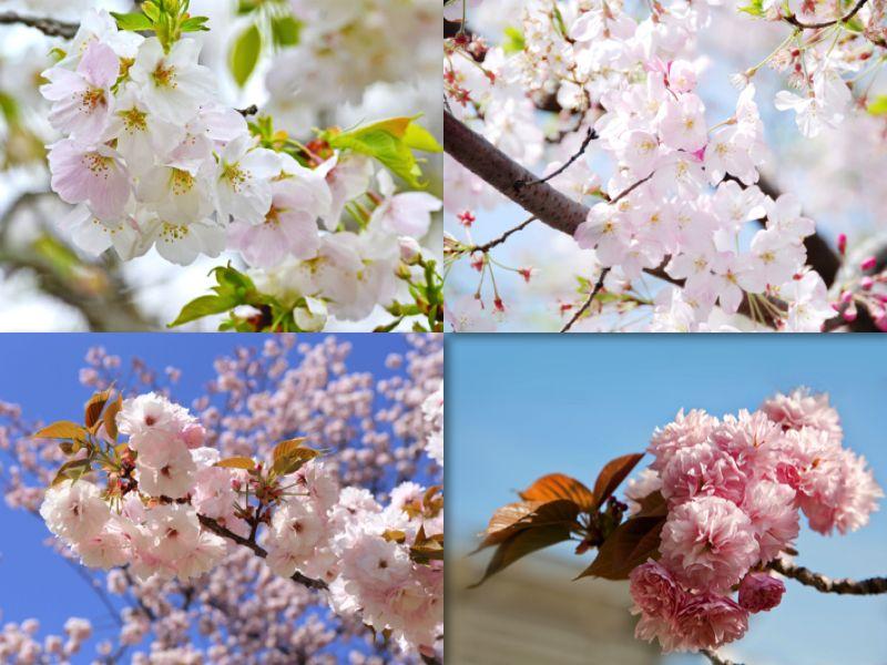 các giống hoa anh đào Nhật Bản