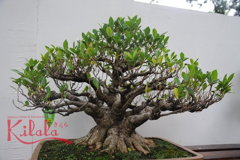 bonsai_vietnam