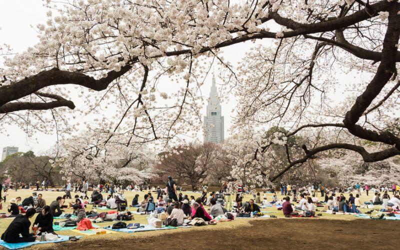 ngắm mùa xuân dưới tán hoa anh đào