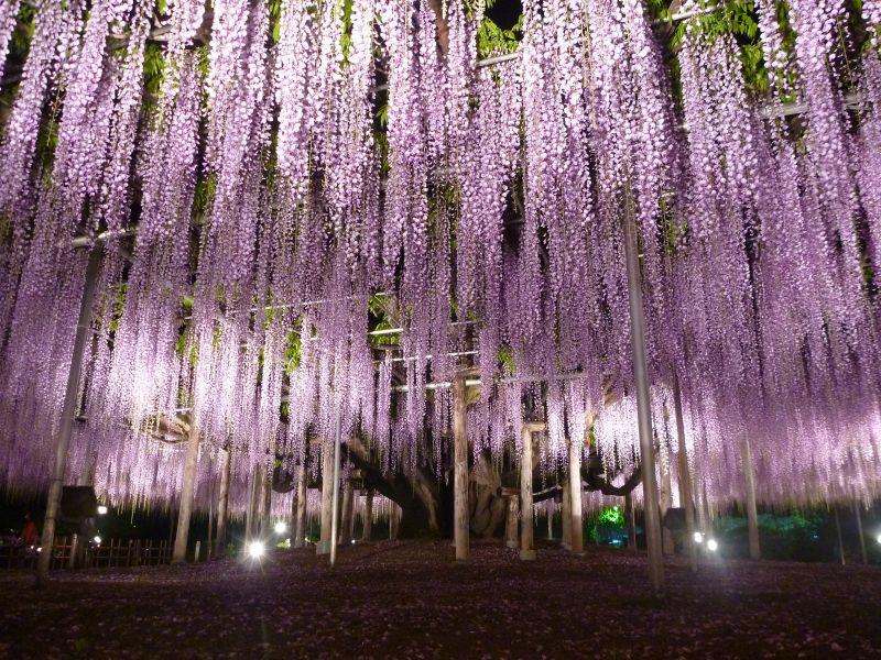 cây hoa tử đằng Ashikaga