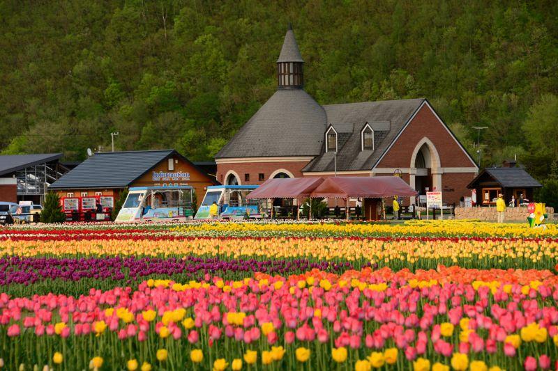 đồng hoa Tulip Kami-yubetsu