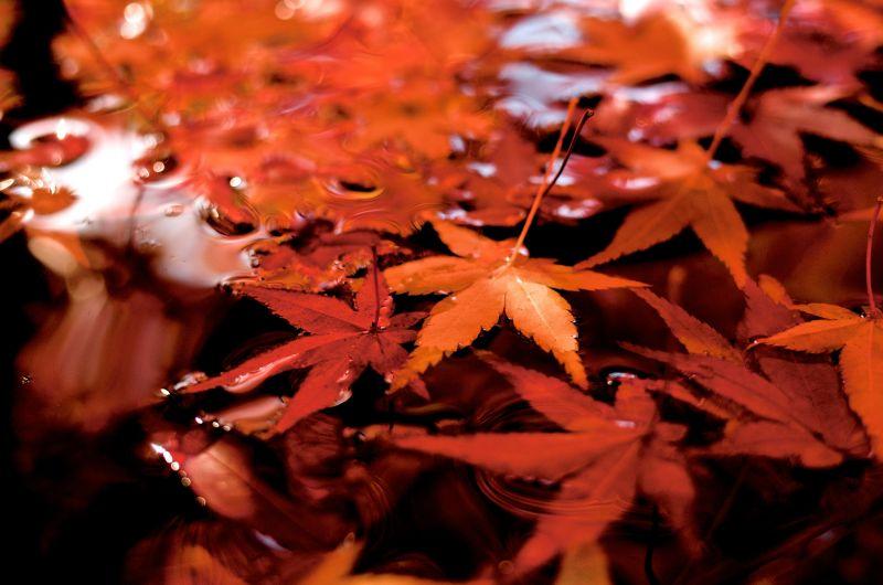 lá đỏ (Momiji - 紅葉)