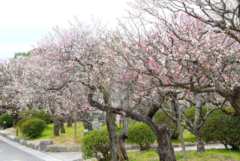Vườn hoa mơ ume