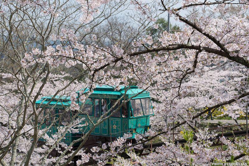 ngắm hoa đào tại Funaoka