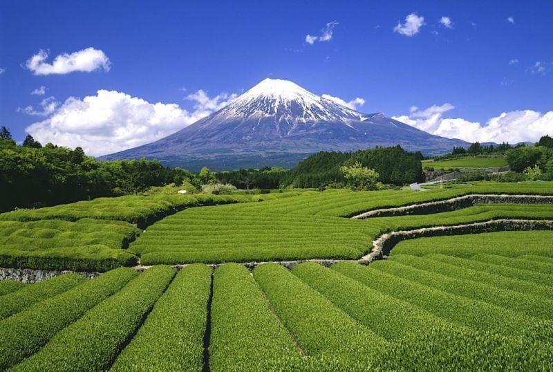 Núi Phú Sĩ và vườn matcha