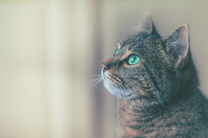 người nhật u mê mèo