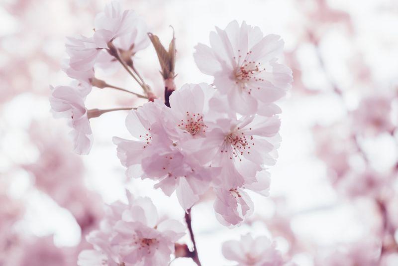 Truyền thuyết hoa anh đào