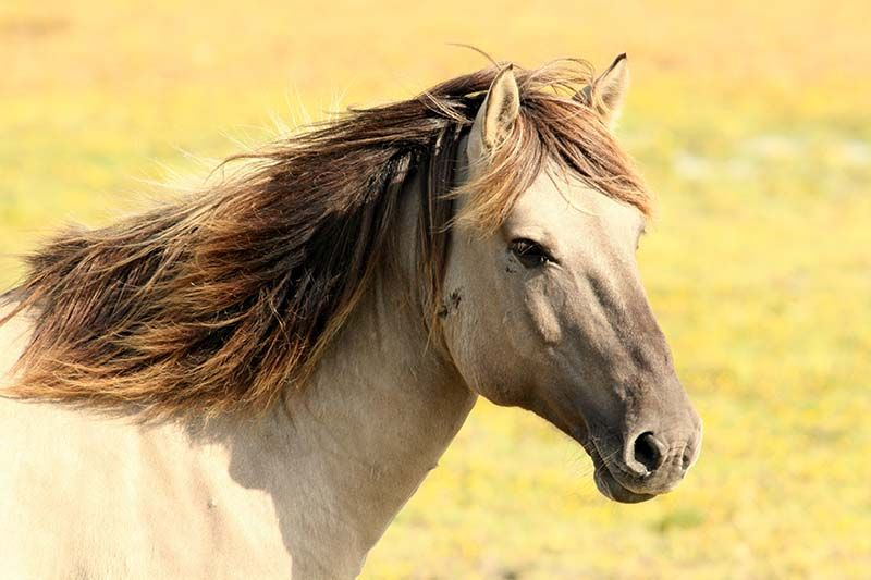 dưỡng da từ dầu mỡ ngựa