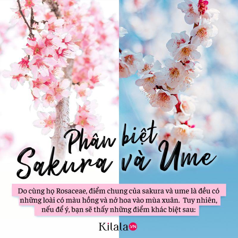phân biệt sakura và ume