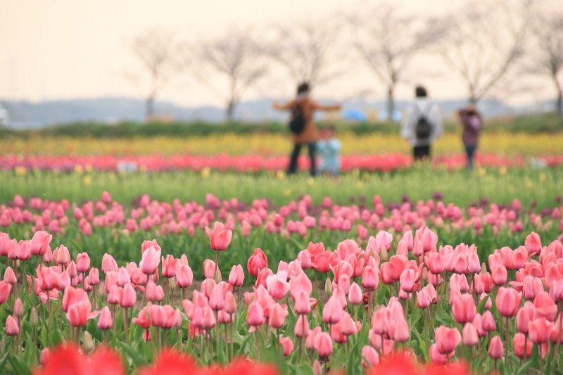 800.000 bông tulip bị cắt bỏ