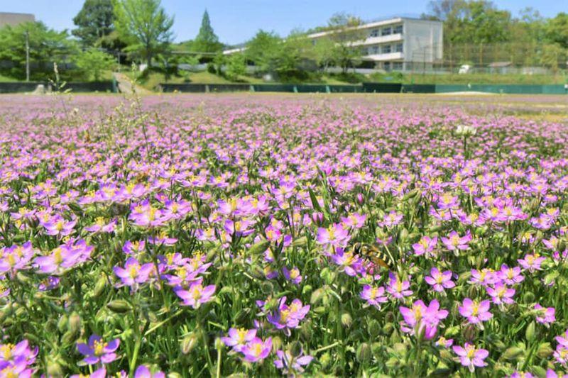 Sân trường bỗng biến thành biển hoa sau thời gian nghỉ dịch